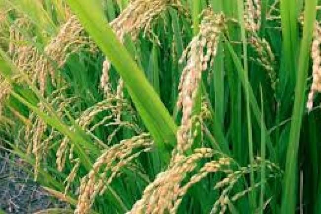 ســـورية منتجـــة للأرز قريبــــــاً .. وكلفة الكيلو فقط 70 ليرة