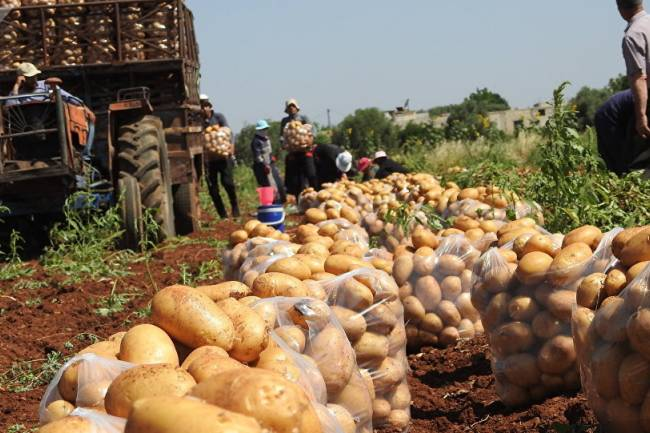 نائب رئيس لجنة أسواق الهال رفيق محمح: أسعار البطاطا قد ترتفع خلال أيام