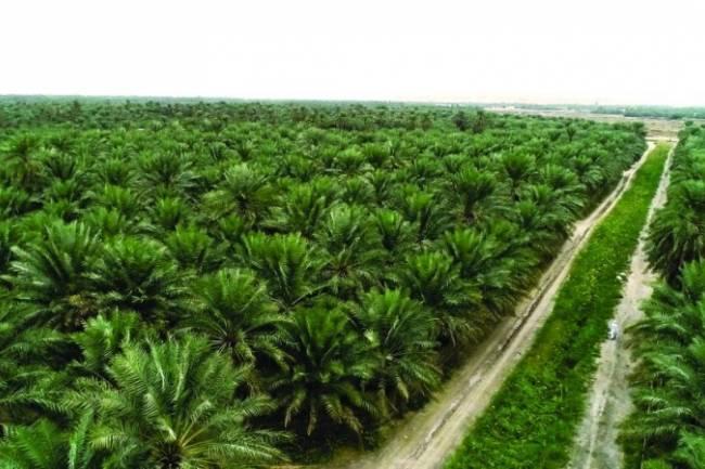 هيئة الاستثمار ترخص لمشروع  لزراعة النخيل وإنتاج التمور