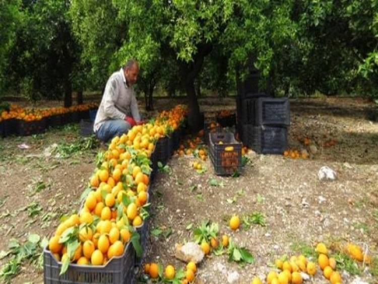 تراجع إنتاج الحمضيات بنحو 35%  هذا العام ..ووزير الزراعة يتوقع تراجع الاستهلاك المحلي